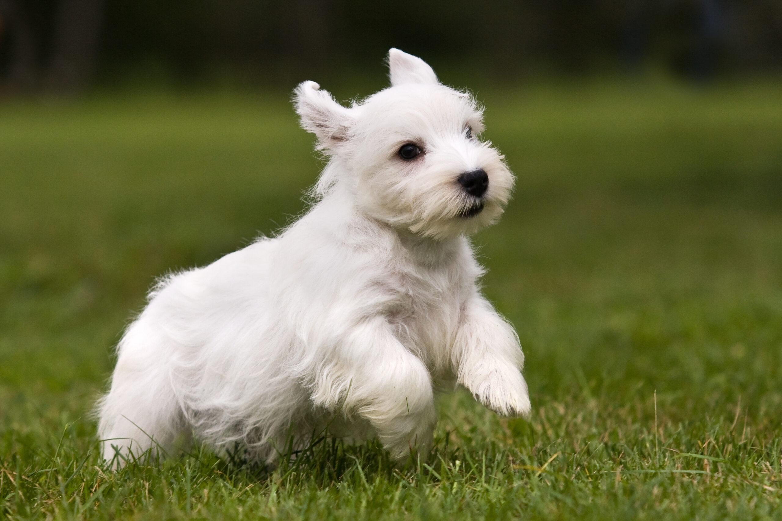 Sealyham Terrier running in grass (Photo: Adobe Stock)