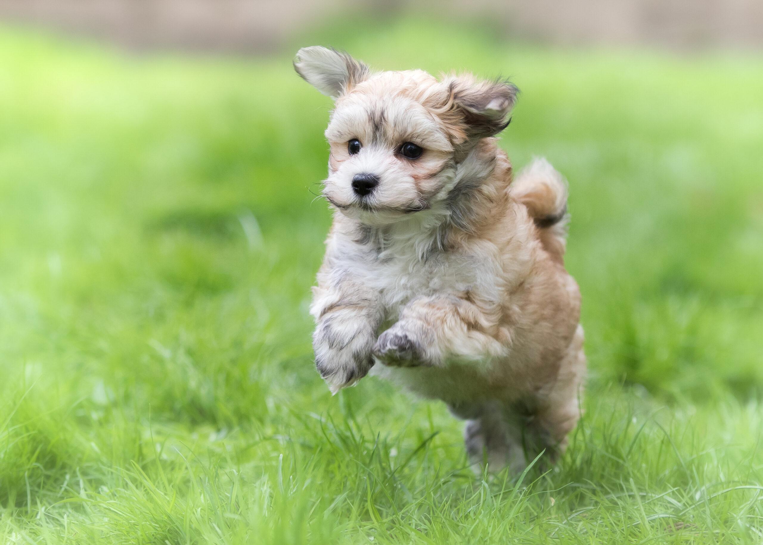 Havanese puppy (Photo: Adobe Stock)