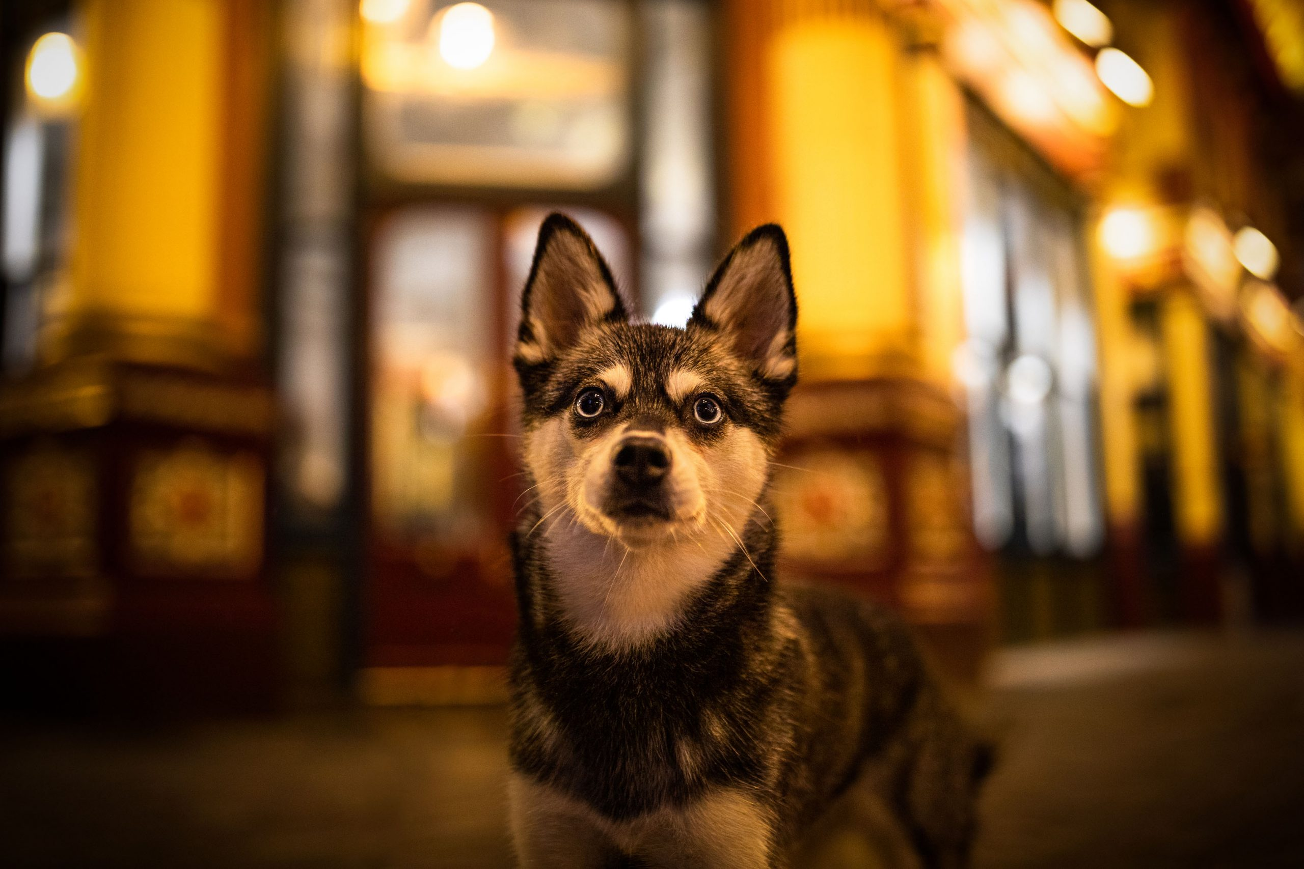 Alaskan Klee Kai Skye (Photo: Photo-Passion / @lifewithkleekai)