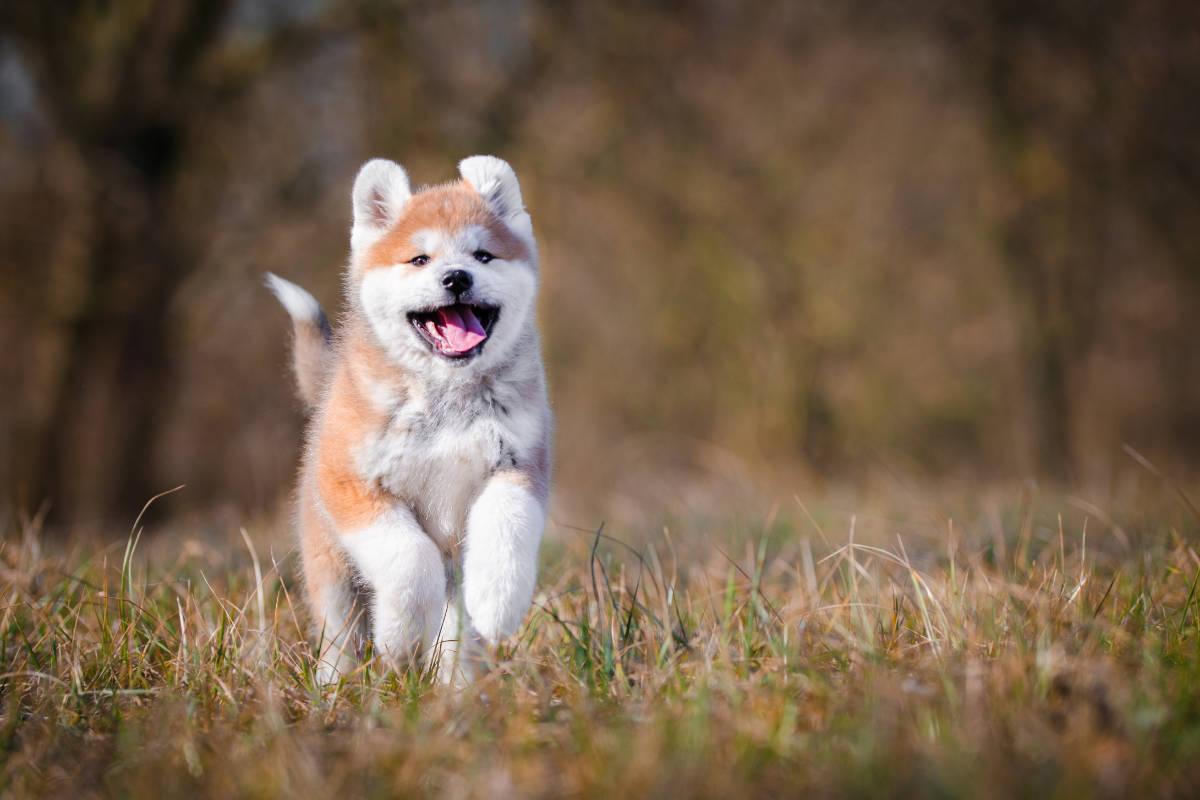 Japanese Akita Inu puppy (Photo: Adobe Stock)