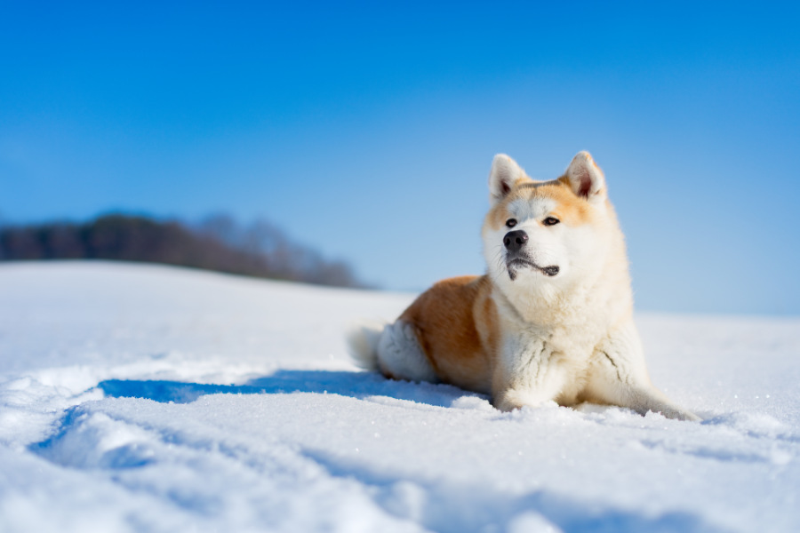 Akita dog lying in the snow (Photo: Adobe Stock)