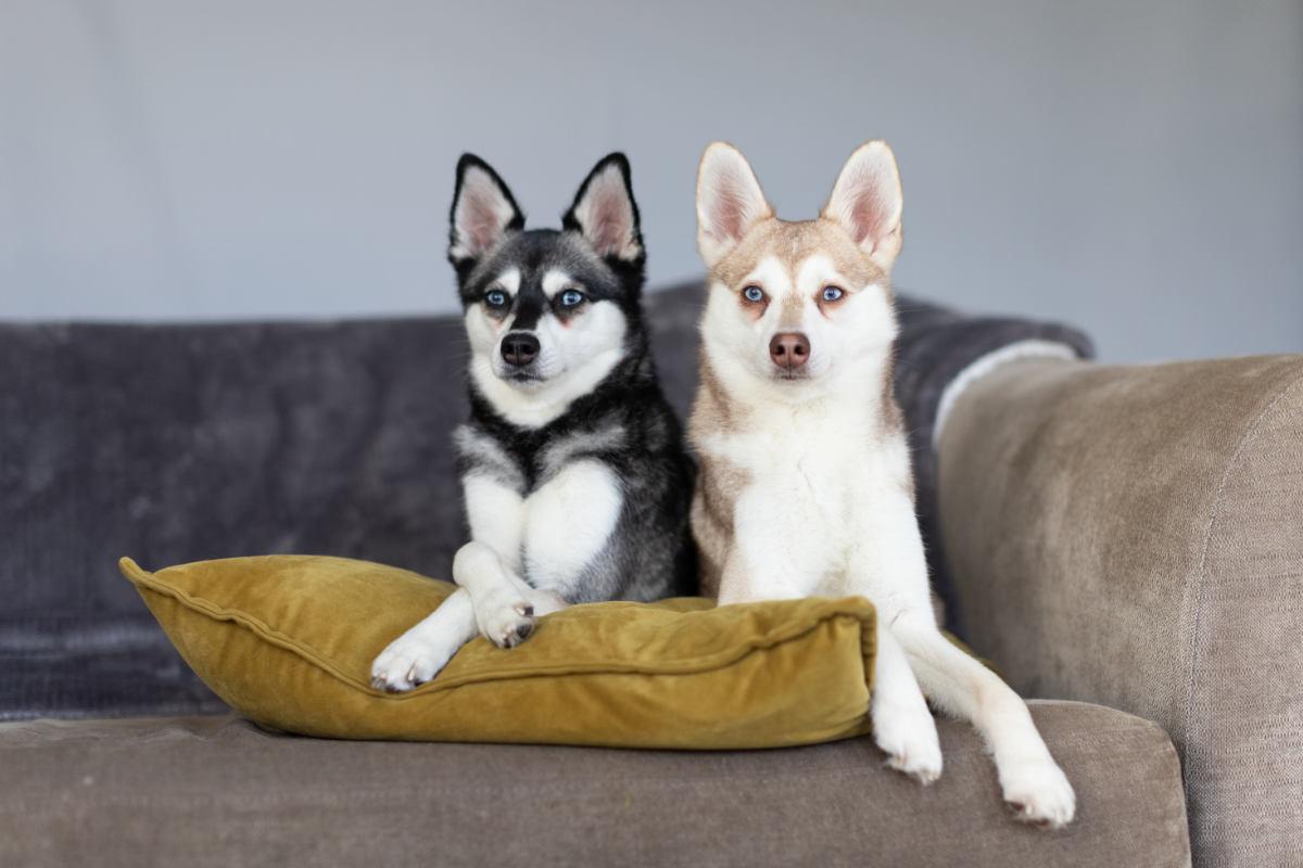 Alaskan Klee Kai Skye and Copper (Photo: Albalone Pet Studio / Instagram)
