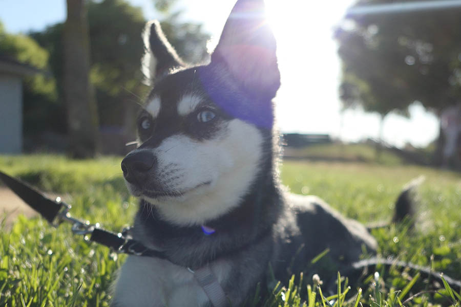 Alaskan Klee Kai originate in Alaska (Photo: lifewithkleekai/ Instagram)