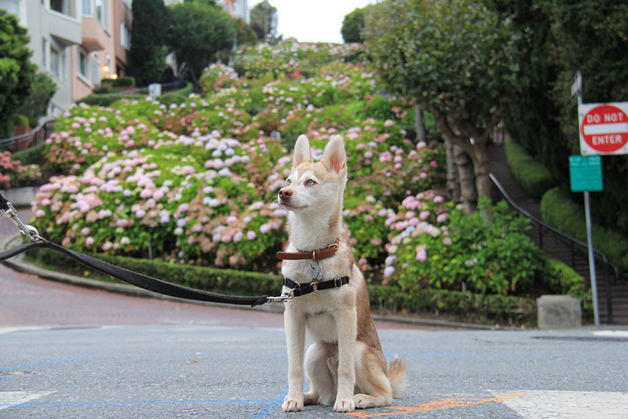 Copper, the Alaskan Klee Kai (Photo: ispywithmylittleskye/Instagram)