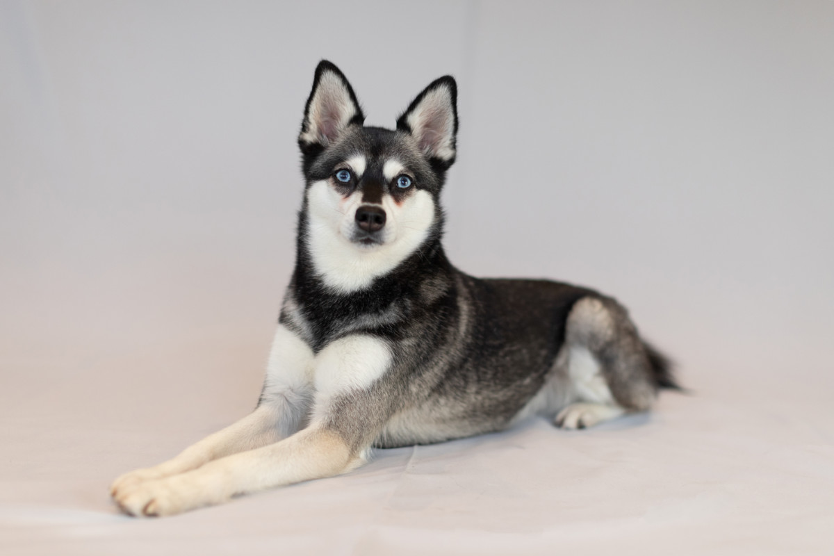 Alaskan Klee Kai Skye and Copper (Photo: Albalone Pet Studio / Instagram)