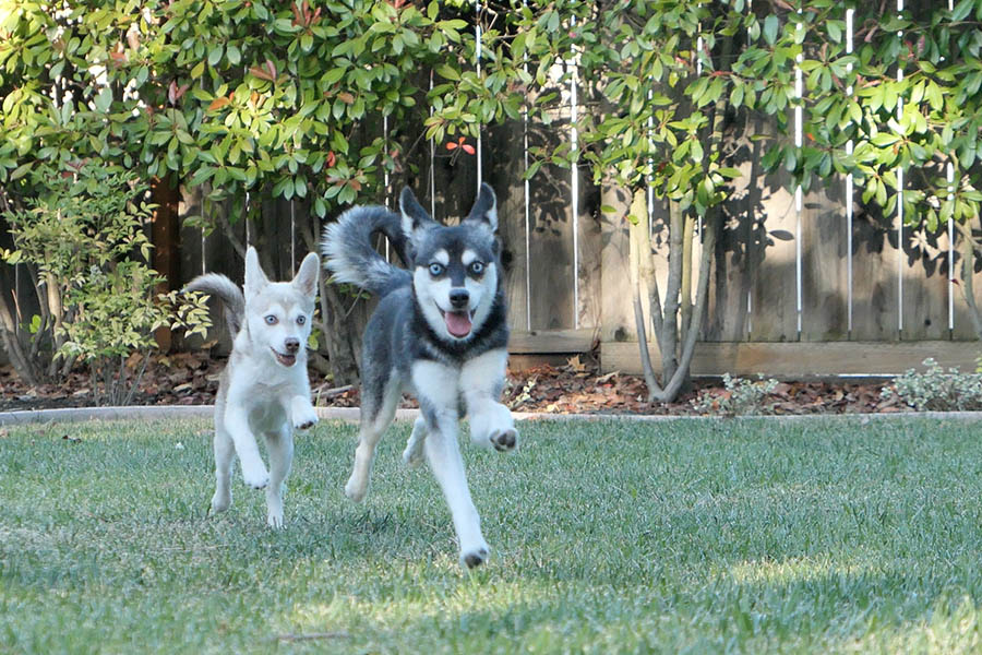 Alaskan Klee Kai playing in a garden (Photo: lifewithkleekai / Instagram)