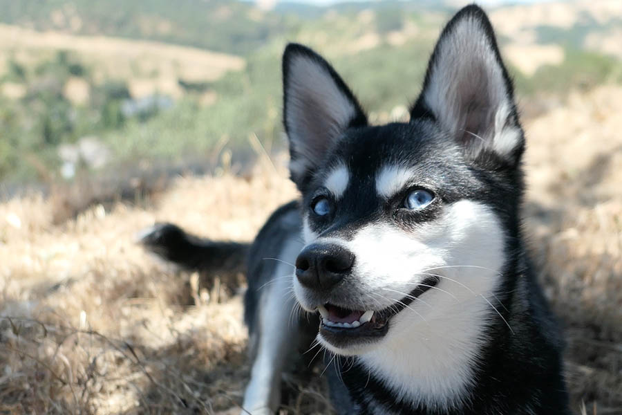 Alaskan Klee Kai can have brown, green and blue eyes (Photo: lifewithkleekai / Instagram)