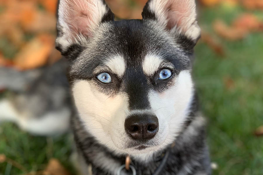 Black and white Alaskan Klee Kai Skye (Photo: lifewithkleekai / Instagram)