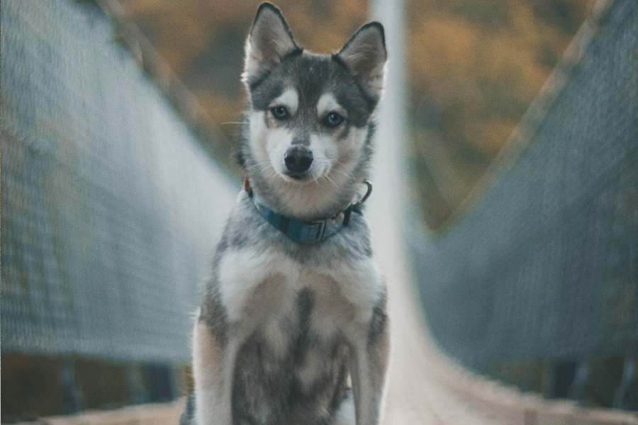 Instagram famous Alaskan Klee Kai Baylee loves to hike around Germany (Photo: Myloveonpaws / Instagram)
