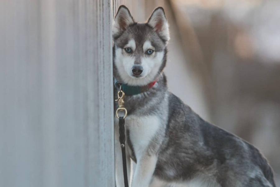 Alaskan Klee Kai Baylee (Photo: Myloveonpaws / Instagram)