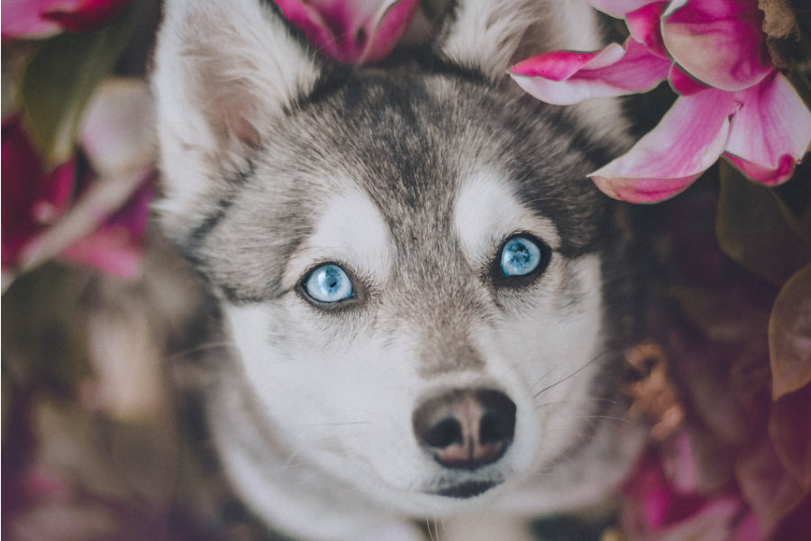 Alaskan Klee Kai love the companionship of humans and can become very attached to their owners   Credit: Myloveonpaws / Instagram
