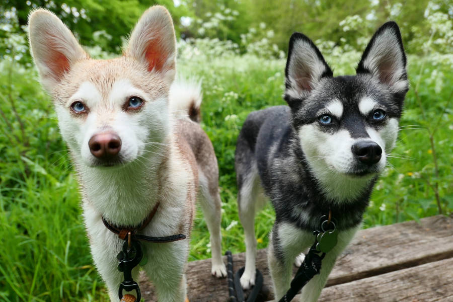 Alaskan Klee Kai Copper and Skye (Photo: @lifewithkleekai / Instagram)