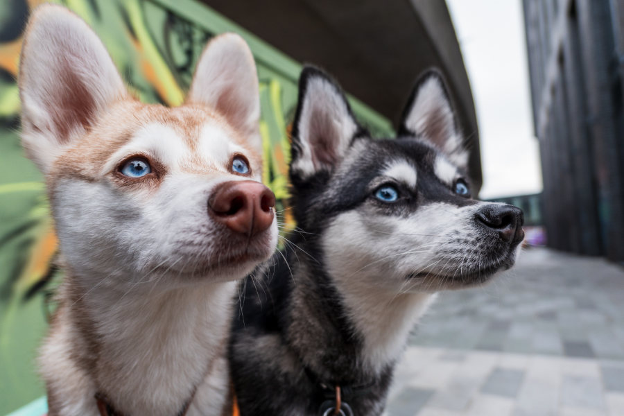 Everything you need to know about buying an Alaskan Klee Kai