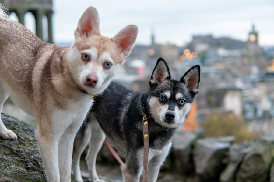 Alaskan Klee Kai Copper and Skye in Edinburgh (Photo: lifewithkleekai / Instagram)