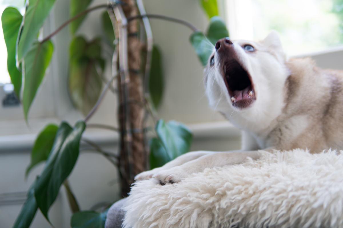 Alaskan Klee Kai howling (Photo: @lifewithkleekai / Instagram )