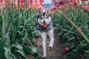 Kouki the Alaskan Klee Kai interview