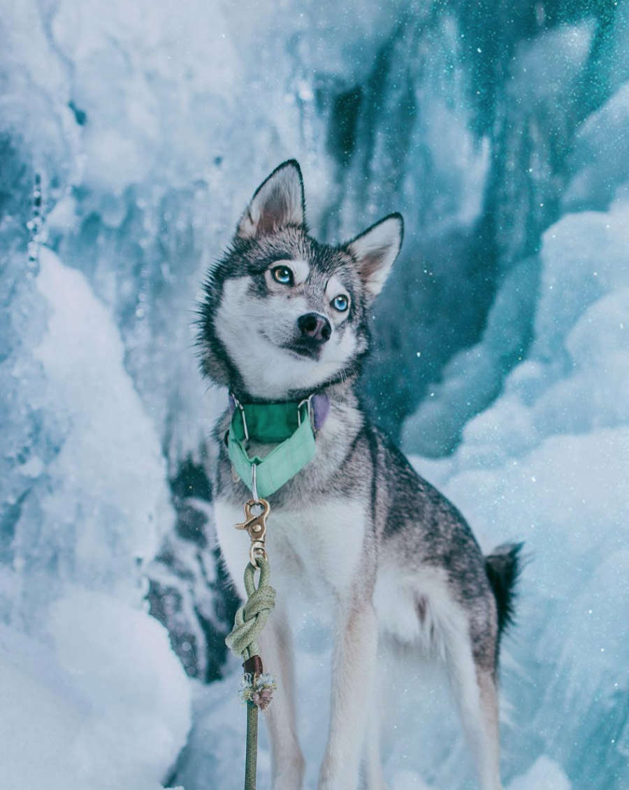Kouki the Alaskan Klee Kai (Photo: @kouki.thekleekai / Instagram)