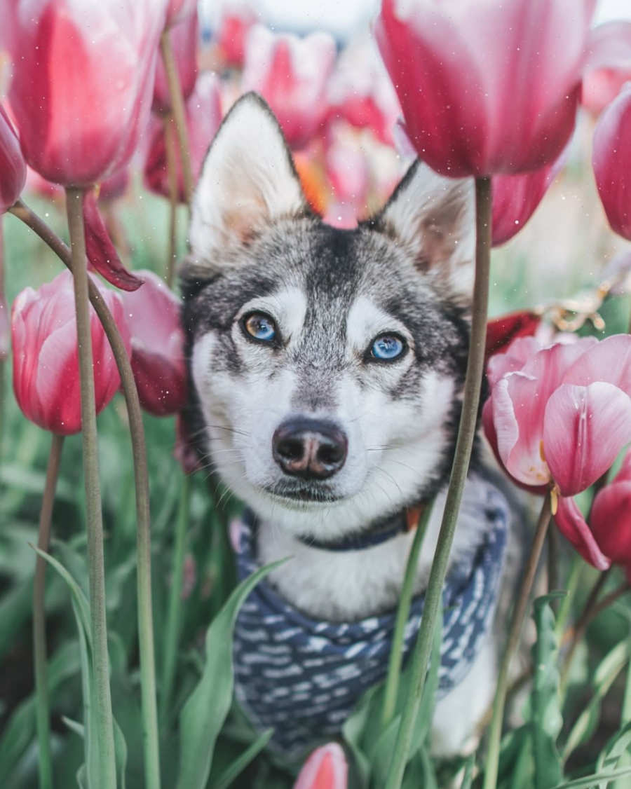 Kouki the Alaskan Klee Kai (Photo: @kouki.thekleekai / Instagram)