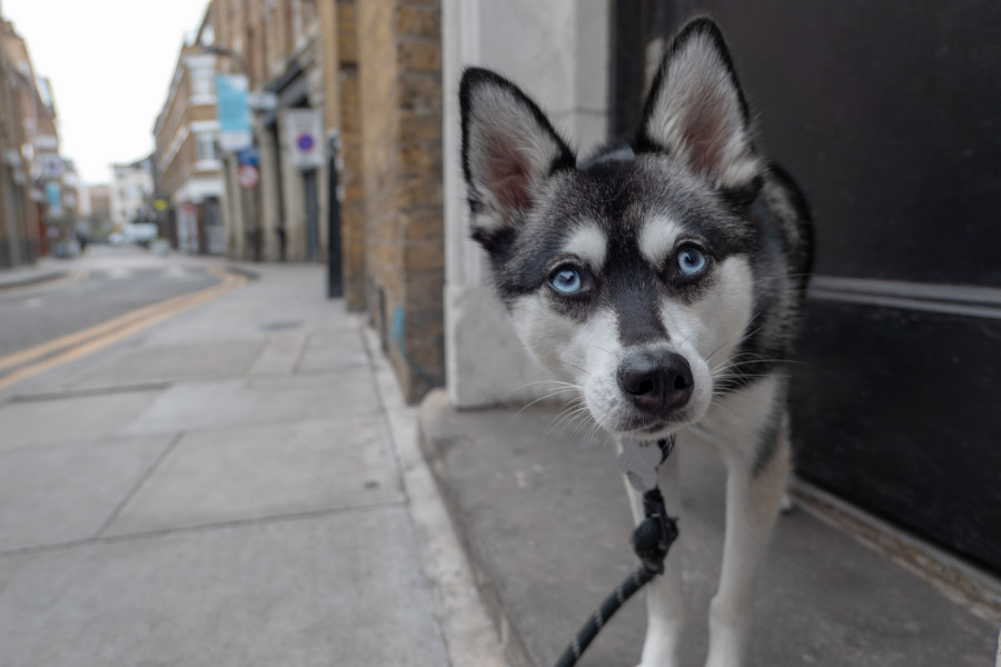 Alaskan Klee Kai Skye (Photo: @lifewithkleekai / Instagram)