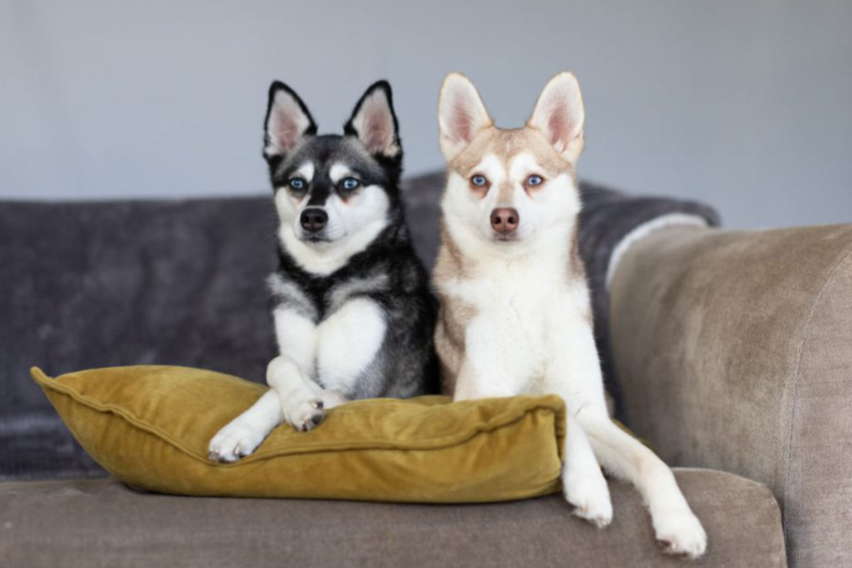Alaskan Klee Kai on the sofa (Photo: Albalone Pet Studio)