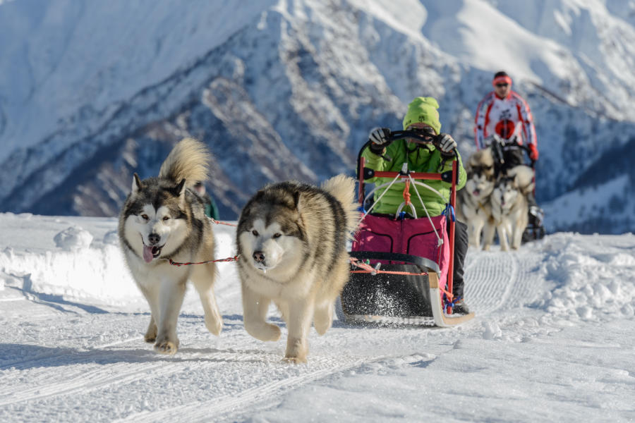 Alaskan Malamutes pulling a sled (Photo: Adobe Stock)
