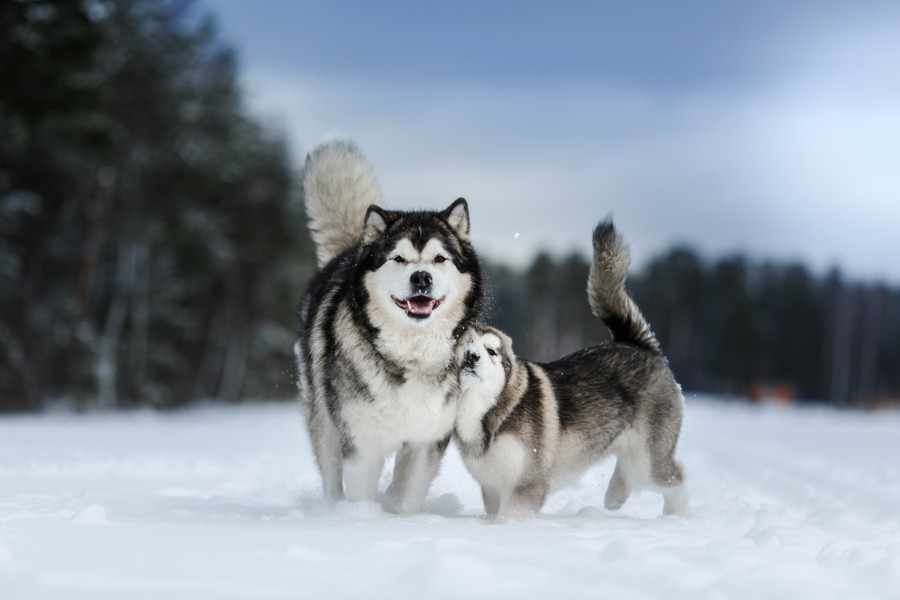 Alaskan Malamutes walking in winter forest (Photo: Adobe Stock)