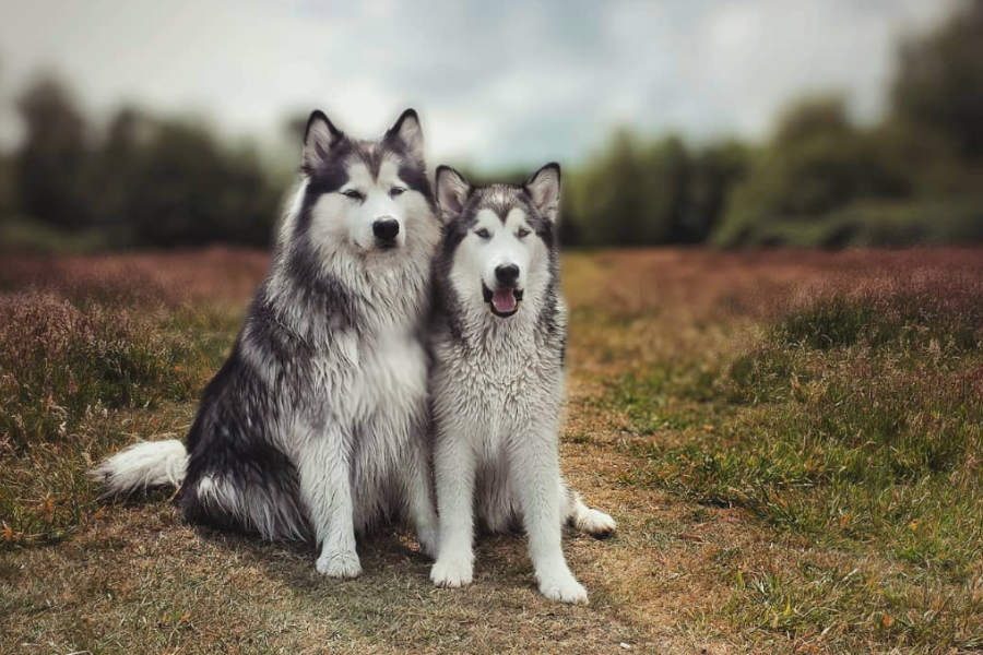 Alaskan Malamutes Elai and Jenna (Photo: @elai.and.jenna / Instagram)