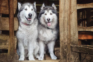 Elai and Jenna Alaskan Malamute Questions and Answers