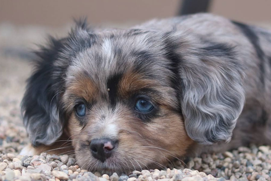 Aussalier puppy (Photo: Royal Crown Kennels / Instagram)