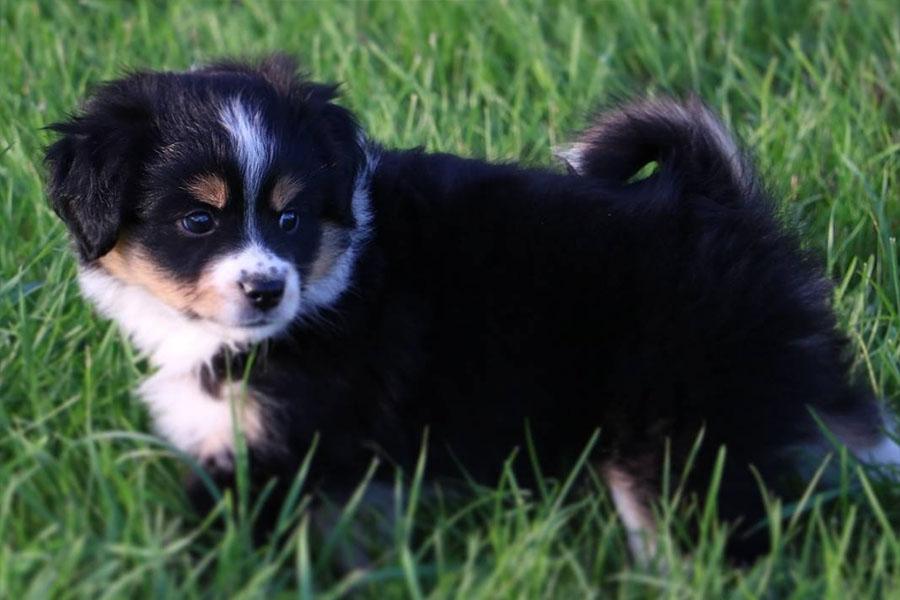 Aussalier puppy (Photo: Royal Crown Kennels / Instagram)