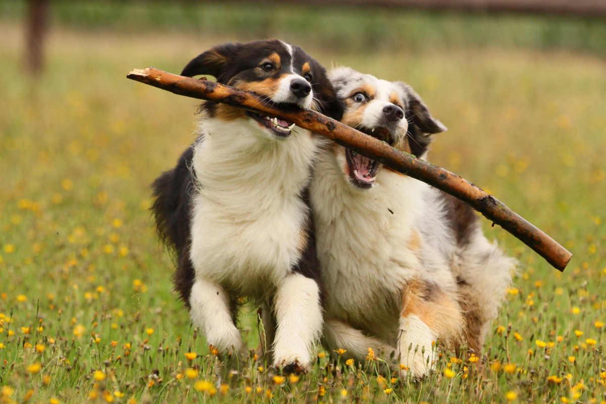 Australian Shepherds play with a stick (Photo: Adobe Stock)
