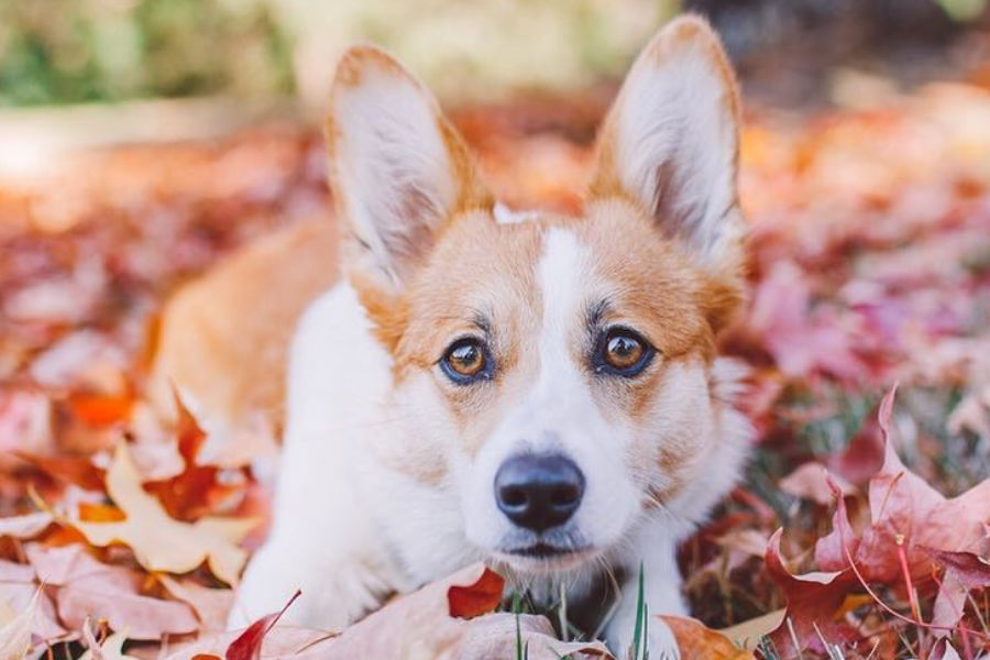 Ava the Corgi (Photo: littlepnwpups/Instagram)