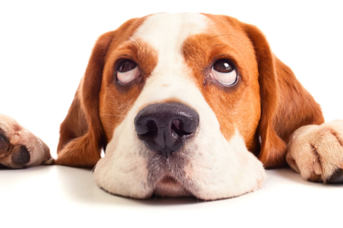 Beagle stares at the camera (Photo: Adobe Stock)
