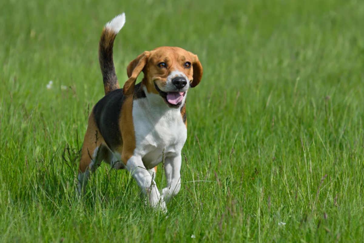 Beagle runs in grass (Photo: Adobe Stock)