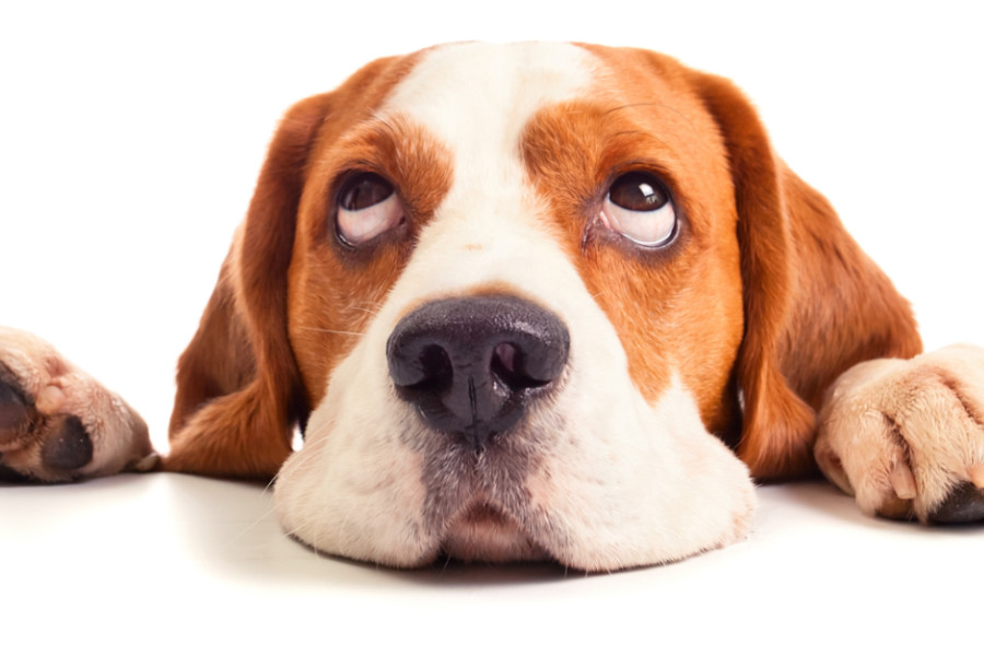 Beagles can have problems with their eyes    Credit: Adobe Images