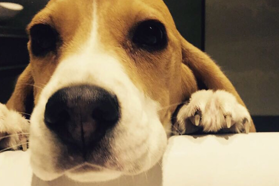 Aaron Ramsey's Beagle is called Halo   Credit: Aaron Ramsey / Instagram