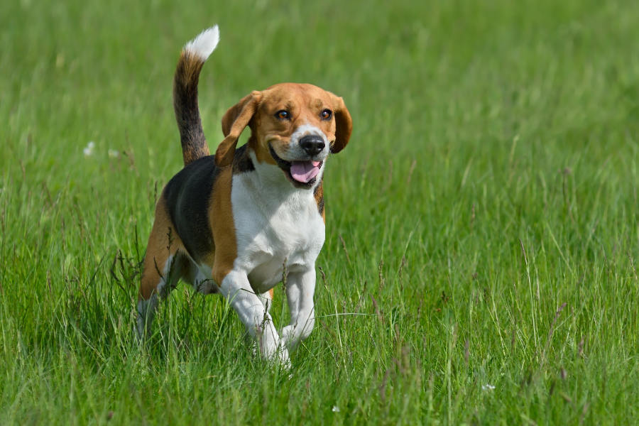 The Beagle is a member of the Hound family (Photo: Adobe Stock)