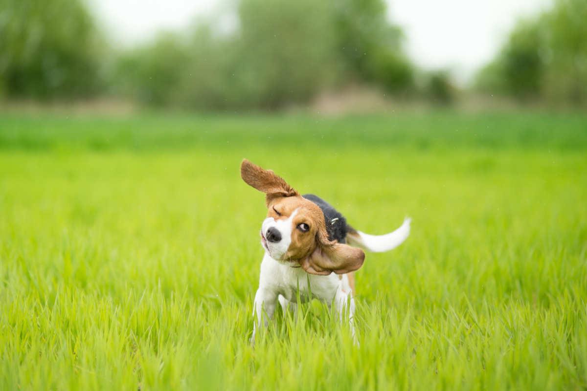 Beagle shaking at the park (Photo: Adobe Stock)