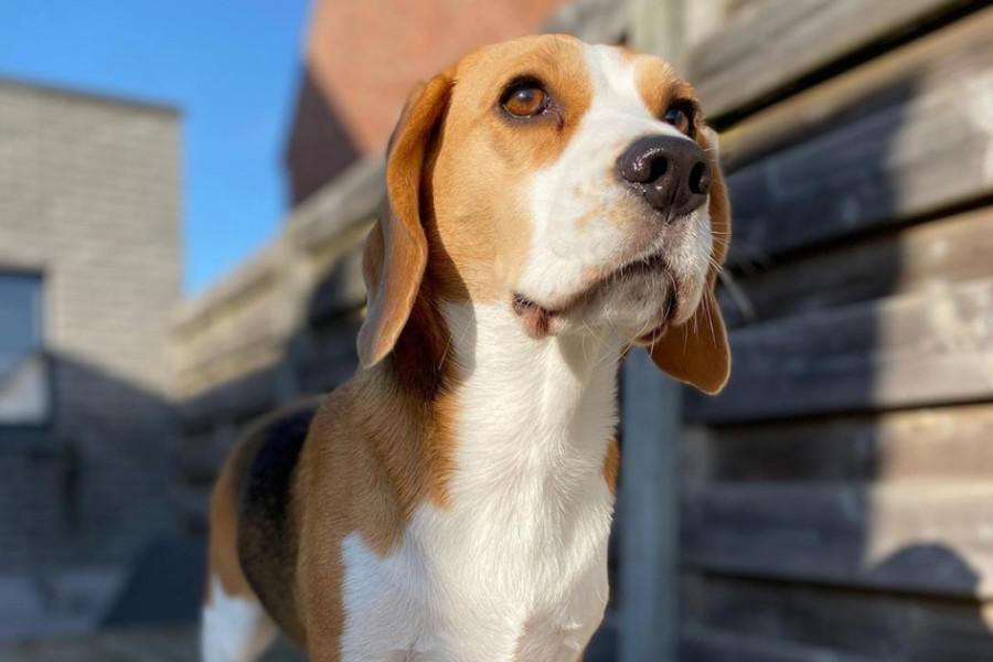 Louie the Beagle (Photo: thebeaglelouie / Instagram)