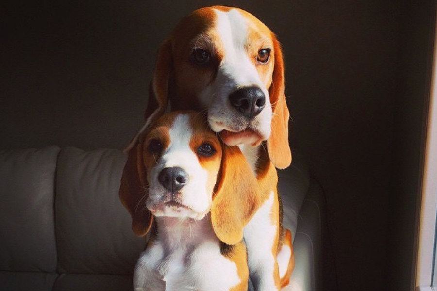 Louie and Marie the Beagles (Photo: thebeaglelouie / Instagram)