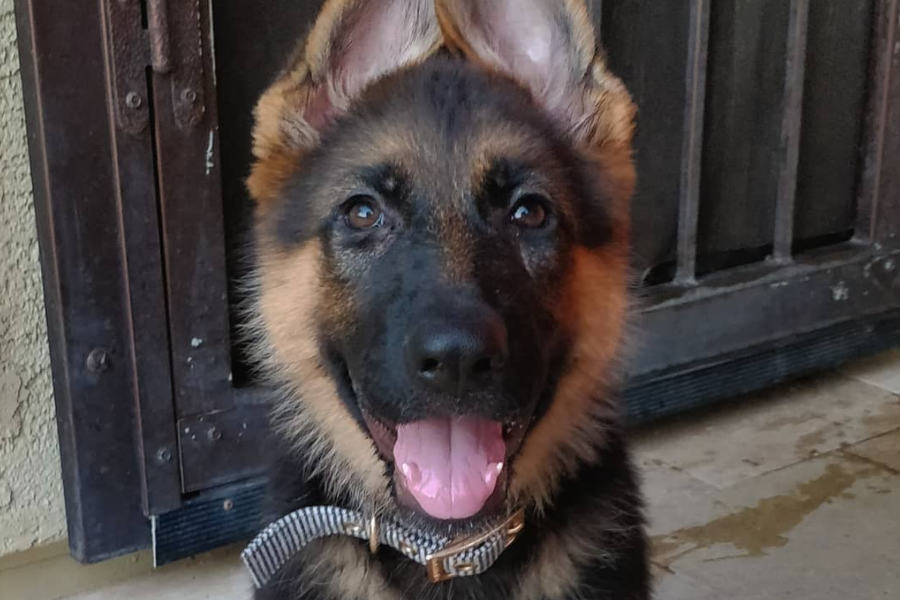 Beauty the German Shepherd (Photo: beauty.the.gsd / Instagram)
