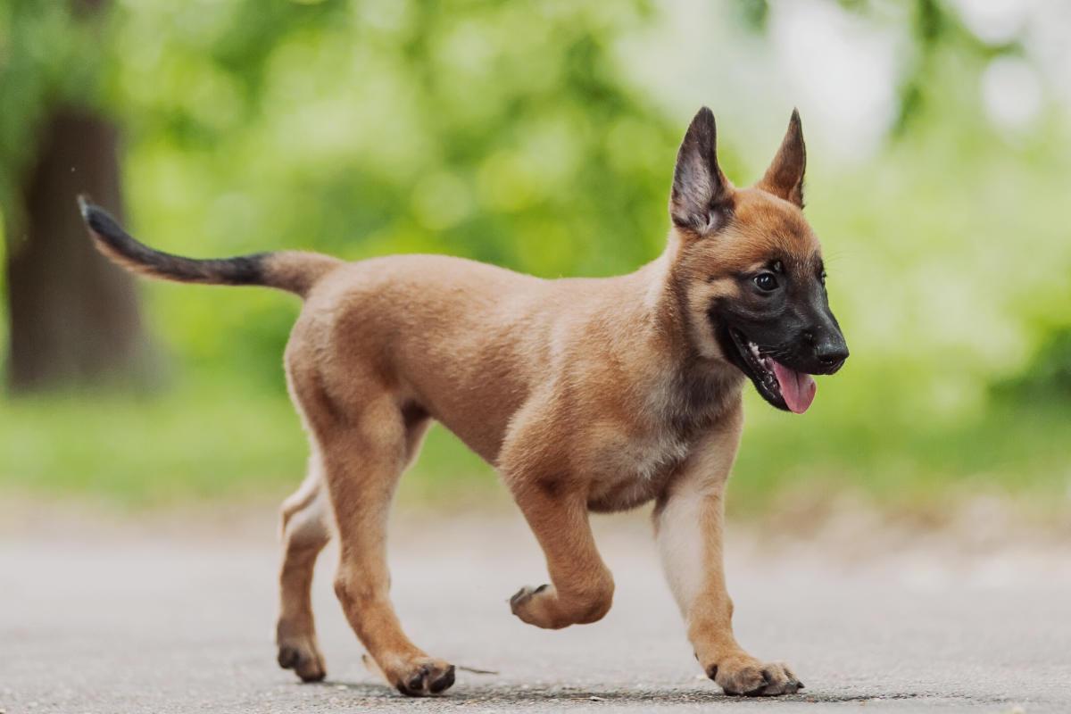 Belgian Malinois puppy (Photo: Adobe Stock)