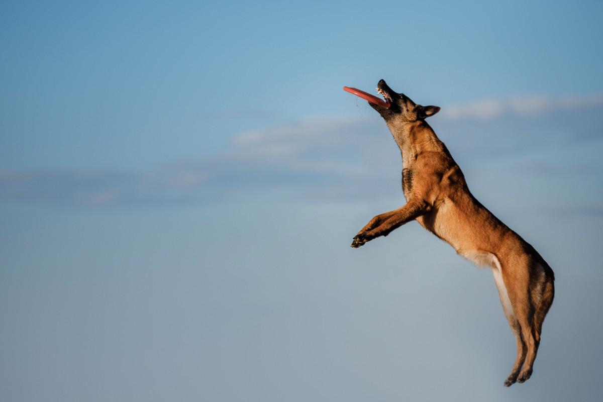 Belgian Malinois catching a frisbee (Photo: Adobe Stock)