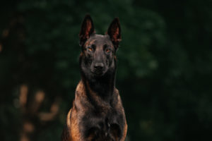 Are Belgian Malinois Hypoallergenic?