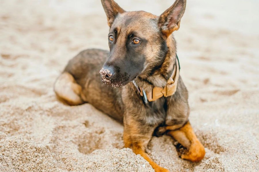 Millie the Belgian Malinois (Photo: @milliethemali / Instagram)