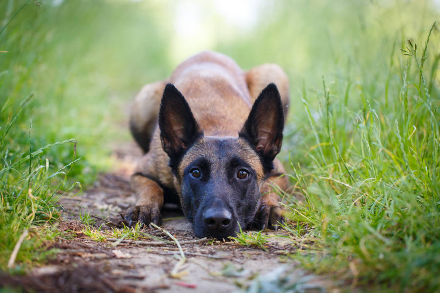 Belgian Malinois (Photo: Adobe Stock)
