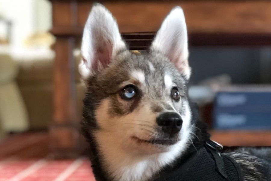 Bill Belichick's Alaskan Klee Kai dog called Nike (Photo: @lindaholliday_ / Instagram)
