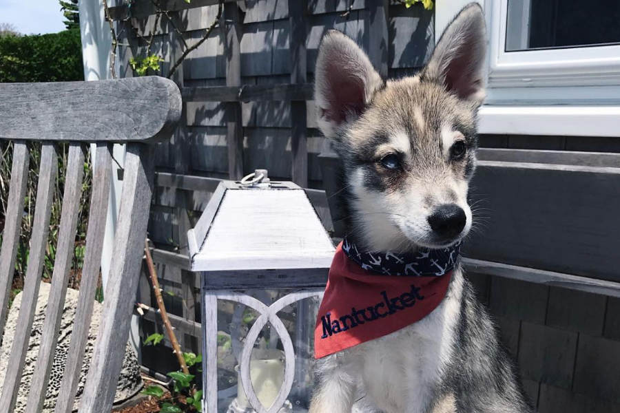 Bill Belichick's Alaskan Klee Kai dog called Nike (Photo: @tlindaholliday_ / Instagram)
