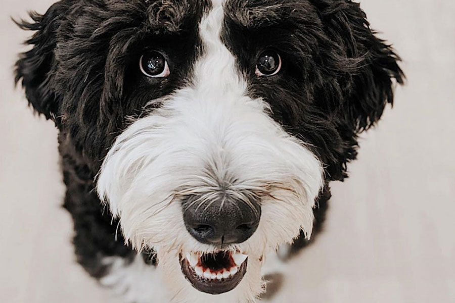 Eevee the Bernedoodle (Photo: @eeveethebernedoodle / Instagram)