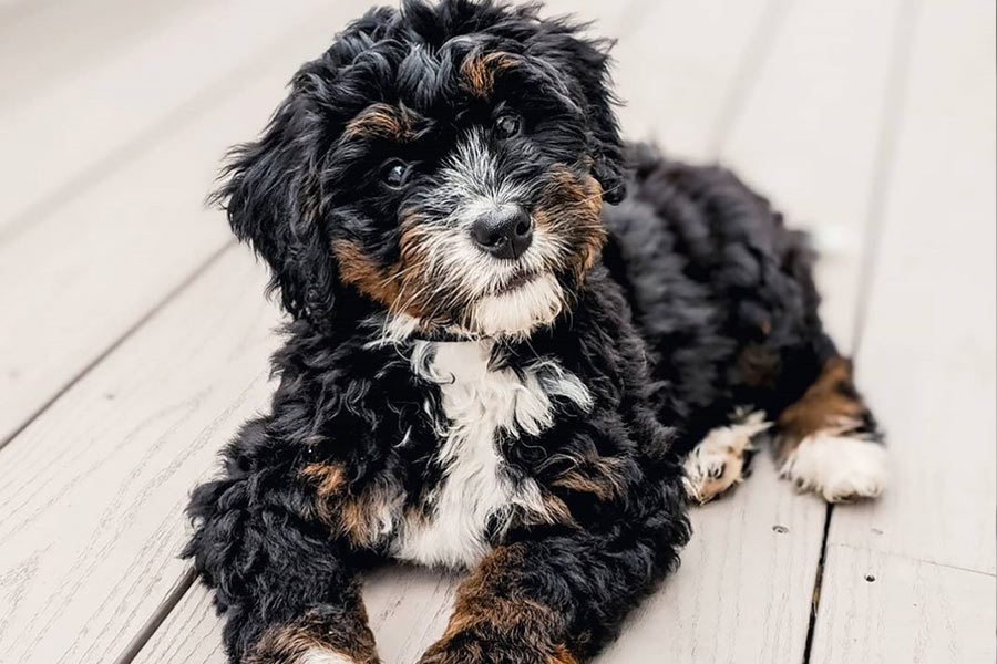 Kenzie the Bernedoodle (Photo: @kenziedood / Instagram)